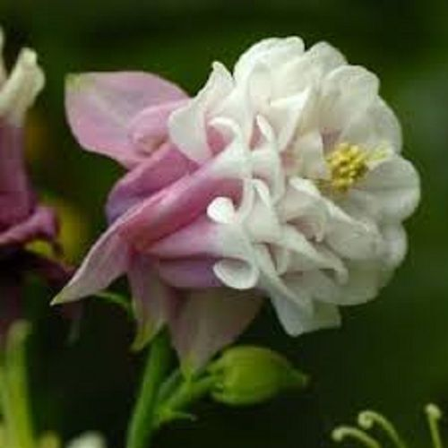 Columbine Floral And Gifts: 30+ Pink Petticoat Double Pleated Aquilegia Flower Seeds