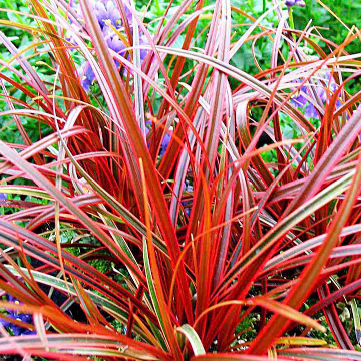 ornamental grass seeds  ebay, Natural flower