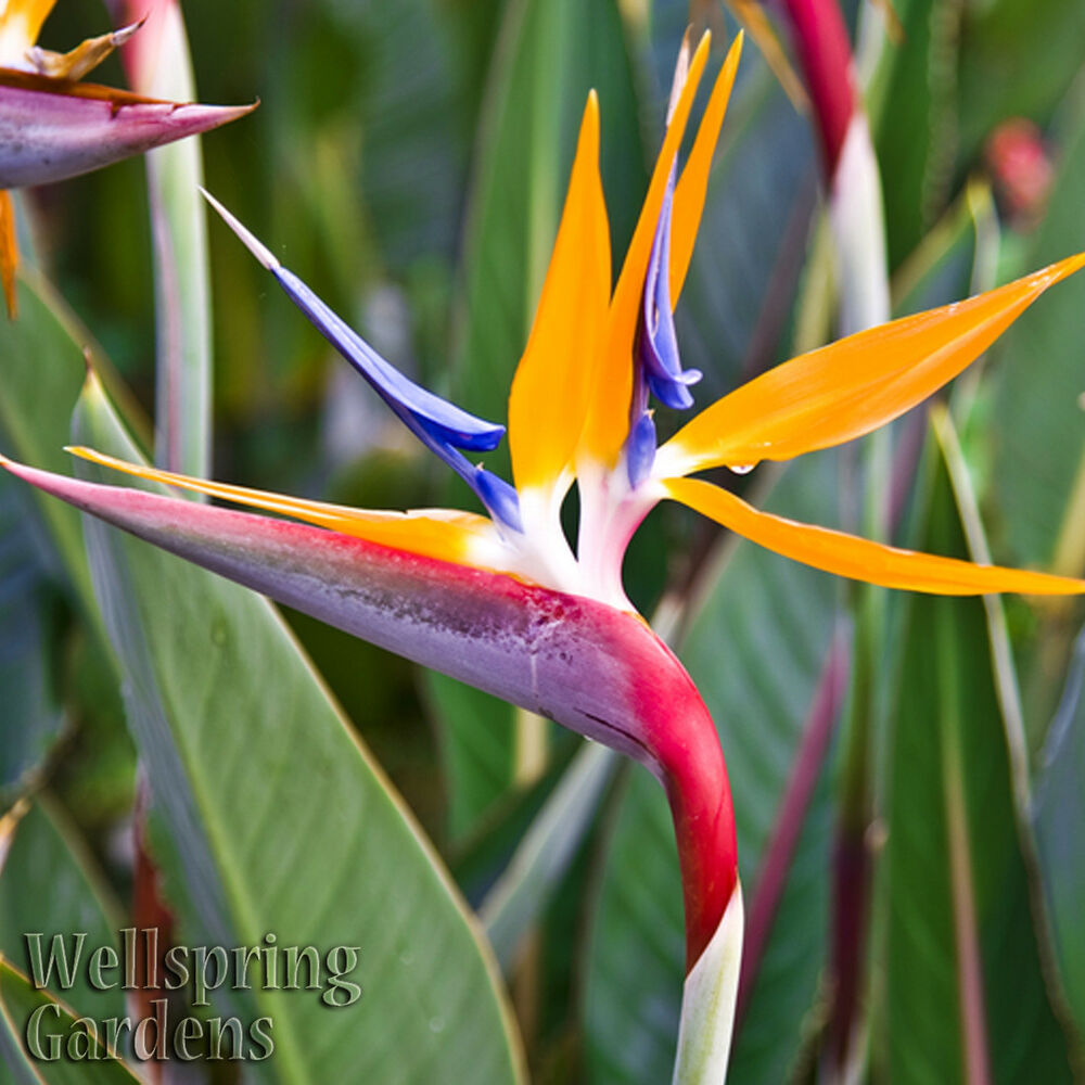 BIRD OF PARADISE LIVE PLANT Exotic Plants Orange Flower ...
