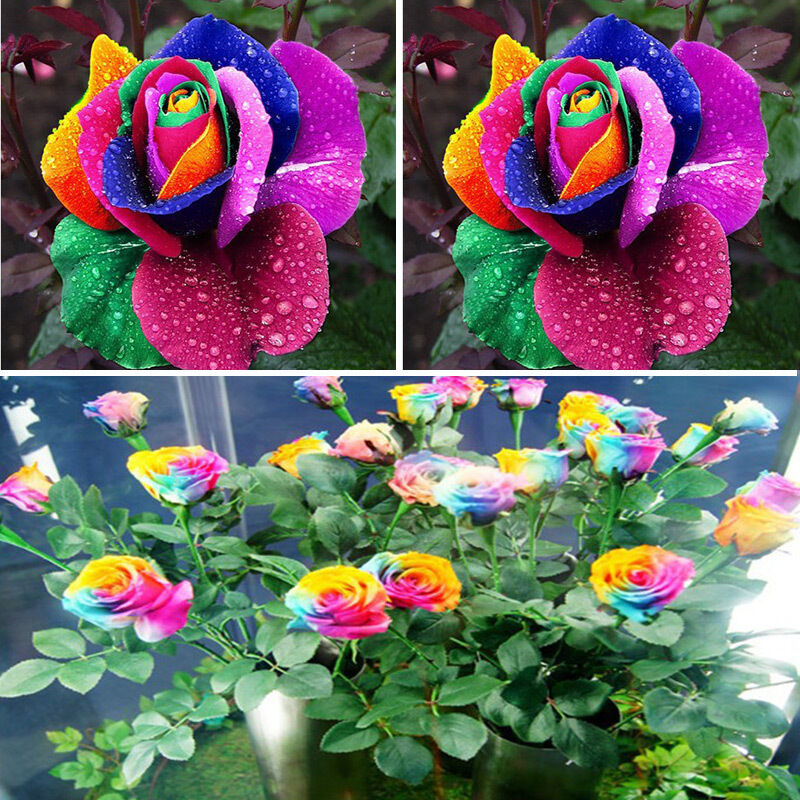 Beautiful 500pcs colorful rainbow rose flower seeds yard for How to color roses rainbow