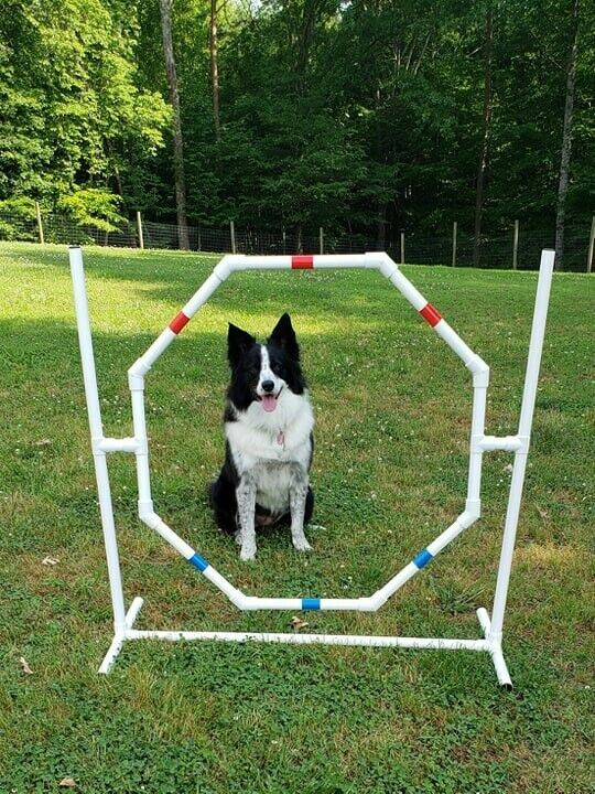 Dog Agility Equipment Octagon Hoop Jump Tons Of Fun And Exercise Ebay