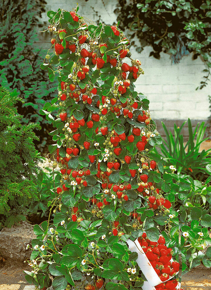 how to grow strawberry temptation seeds