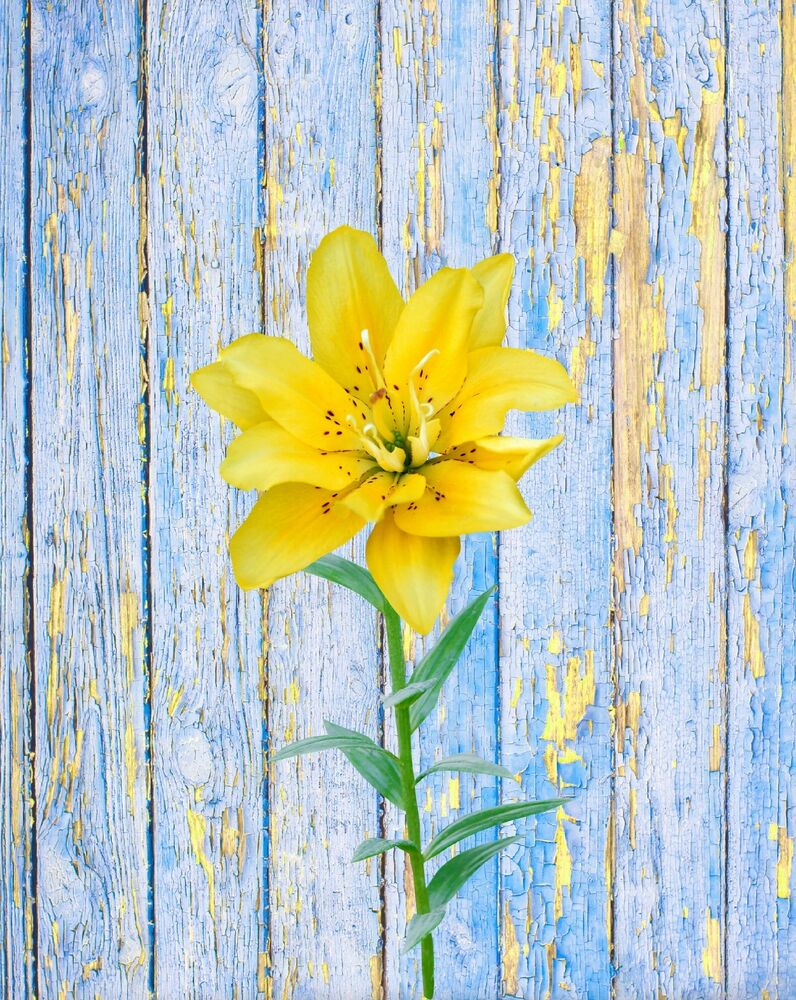 Blue yellow wall art photo print lily rustic flower home for Wall artwork paintings