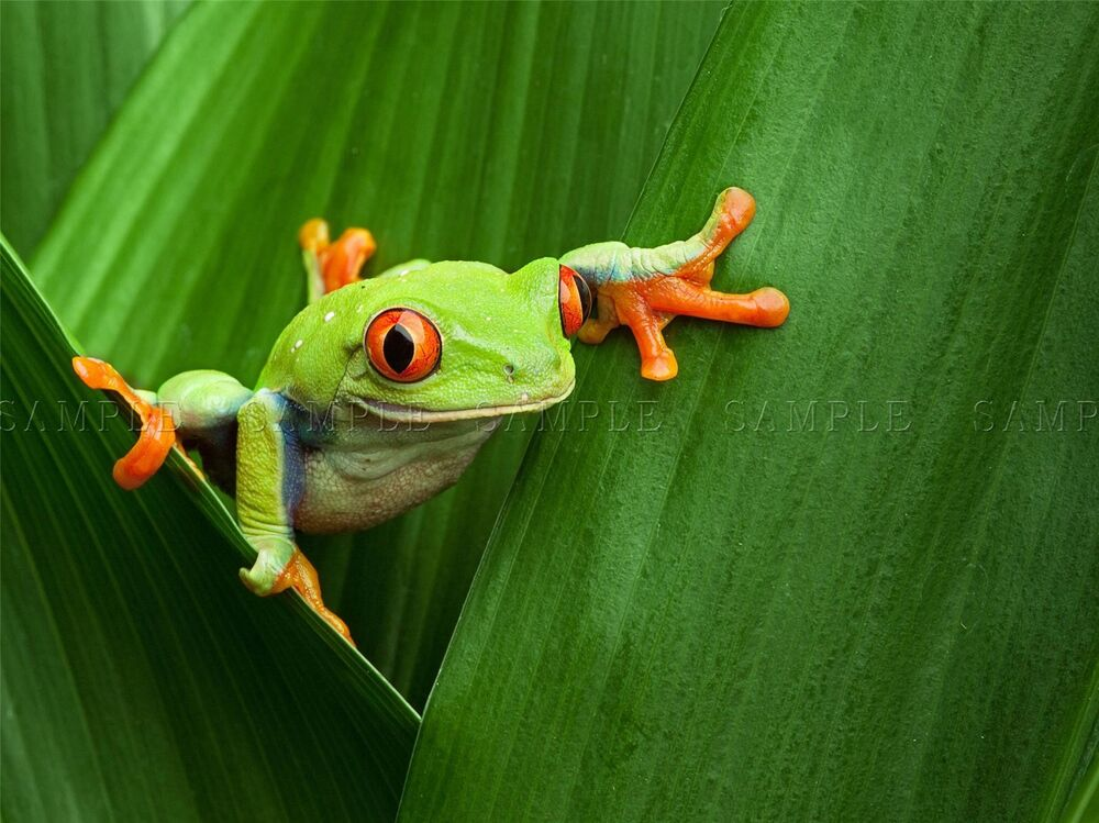 RED EYED TREE FROG CLIMBING LEAF PHOTO ART PRINT POSTER ...