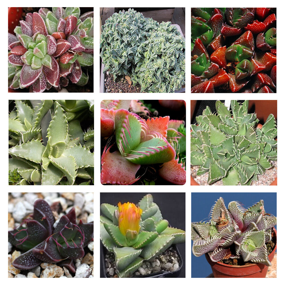 Faucaria Species Mix 10 Seeds Succulent Easy Grow