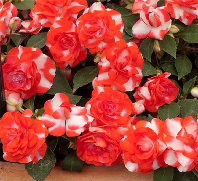 how to start impatiens from seed