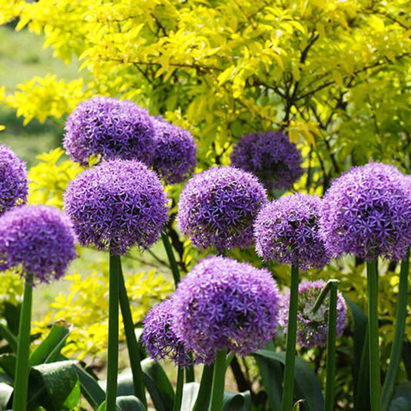 20pcs purple giant allium giganteum seeds beautiful plant flower garden decor ebay. Black Bedroom Furniture Sets. Home Design Ideas