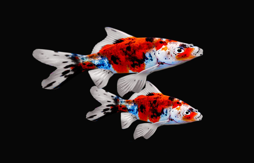 2 exotic fresh water shubunkin goldfish live fish for koi for Exotic koi fish