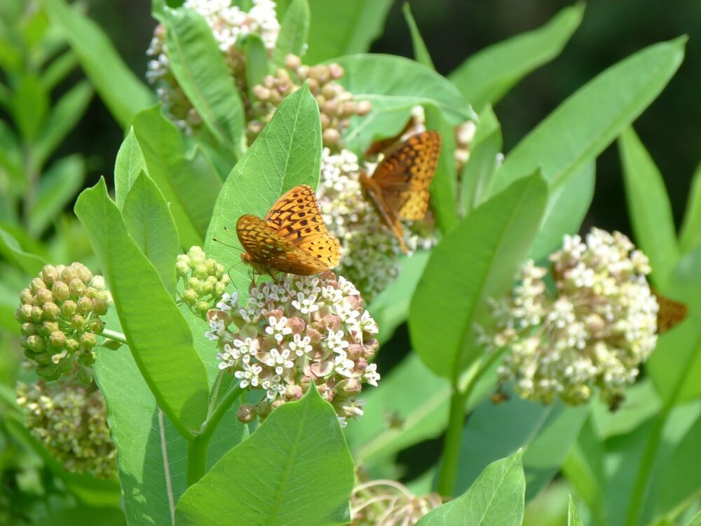 how to grow swamp milkweed from seeds