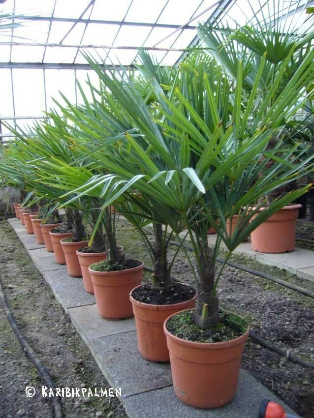 trachycarpus fortunei hanfpalme 80 100cm winterhart 18 c ebay. Black Bedroom Furniture Sets. Home Design Ideas