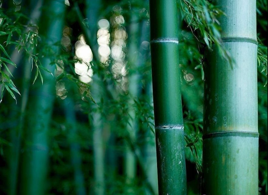 Giant Moso Bamboo Phyllostachys Pubescens 5 10 25 50