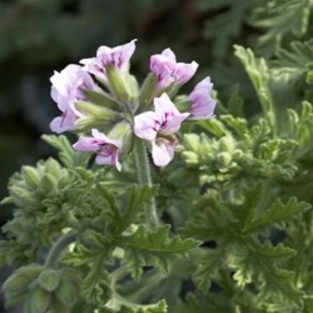 Mosquito repellent plants non gmo citronella geranium 2 two large live plants ebay - Mosquito repellent plants ...
