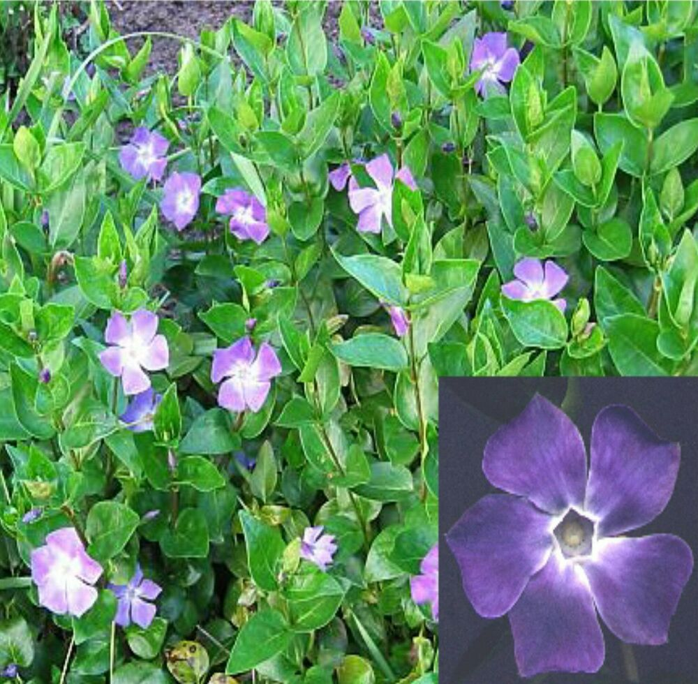 Big green leaf vinca major 10 bare root plants big leaf for Vinca major