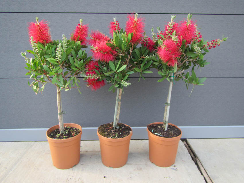 callistemon stamm rote bl te pflanze 50 70cm zylinder pflaschenputzer baum ebay. Black Bedroom Furniture Sets. Home Design Ideas