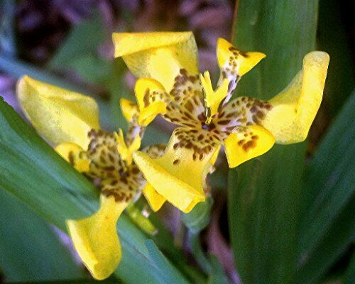 Yellow Walking Iris Plant Shade Garden Perennial Semi