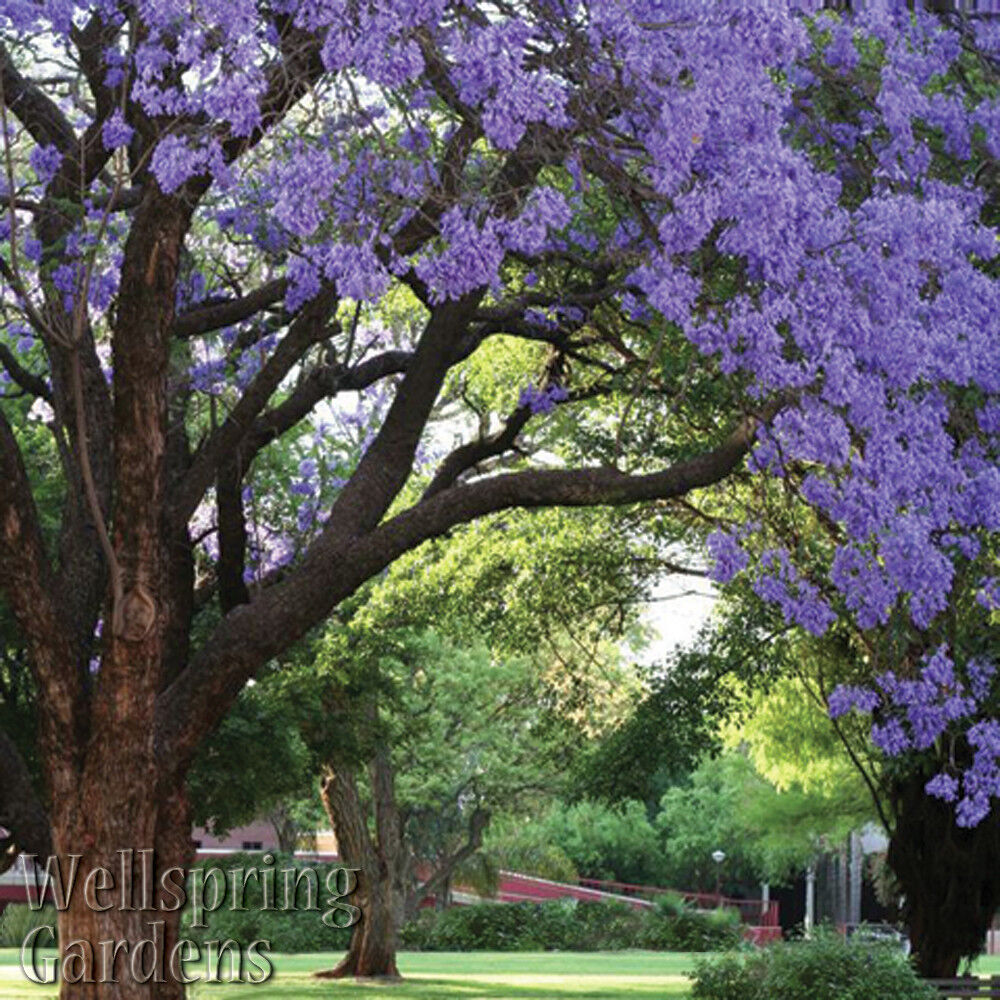 Jacaranda Mimosifolia Tree Live Plant Purple Flowering