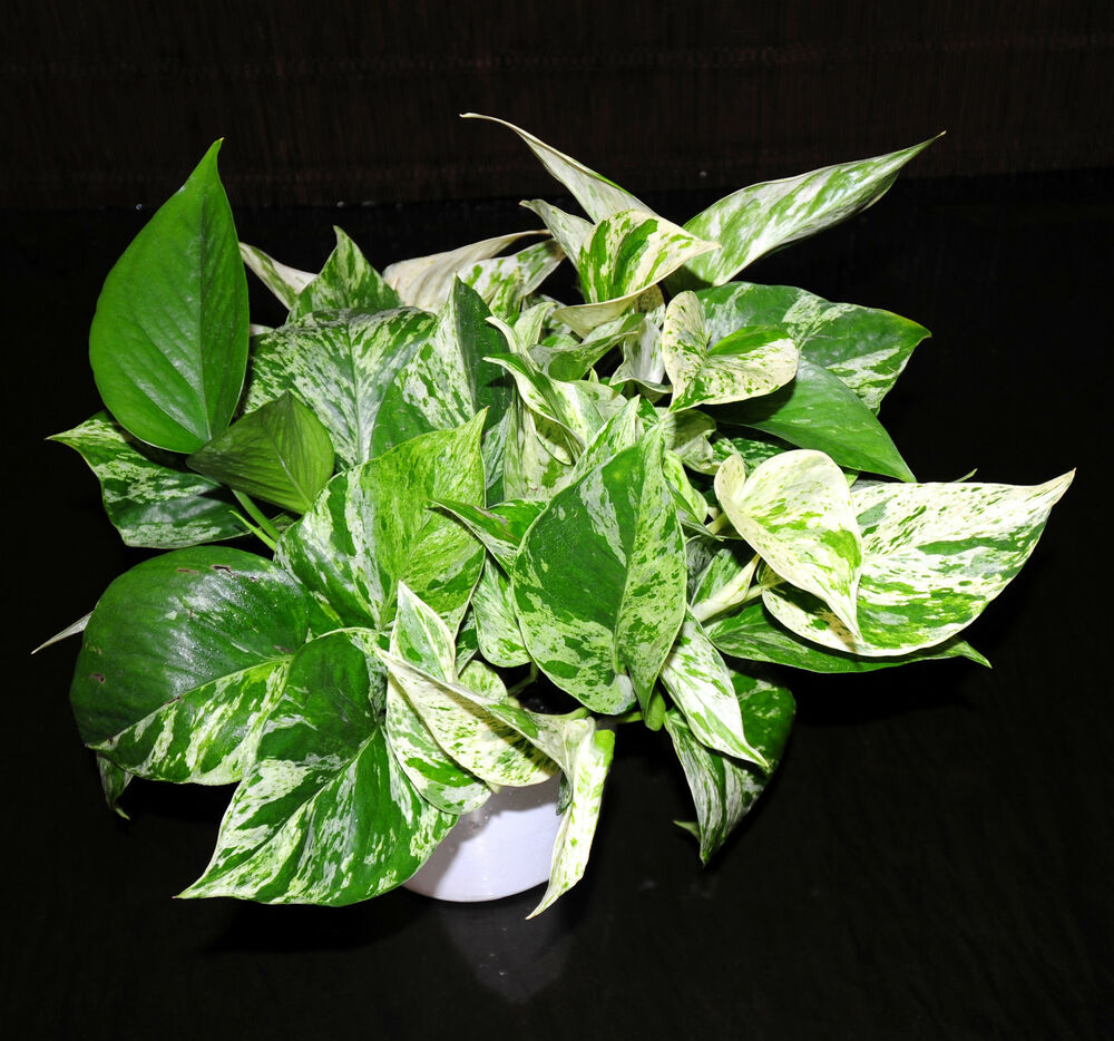 Marble queen pothos 6 pots easy tropical vining house for Easy large house plants