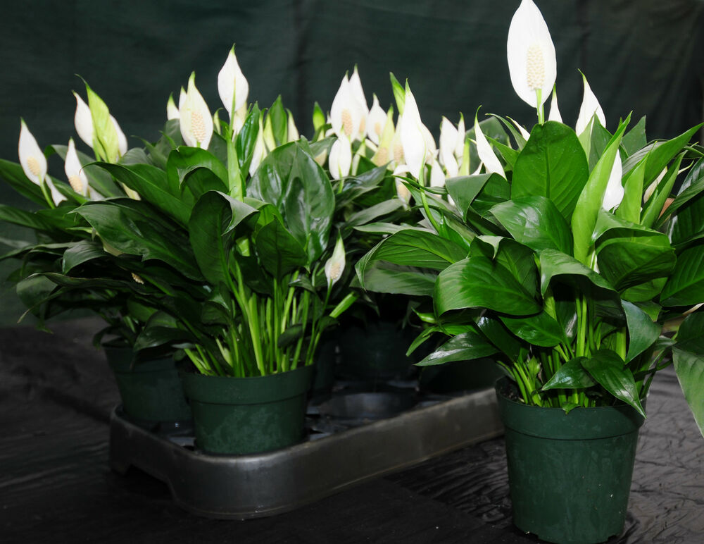 Beautiful large peace lily spathiphyllum in bloom 6 for Easy large house plants