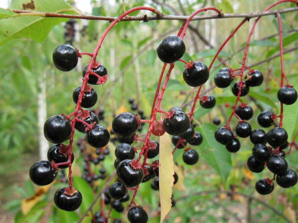 how to grow cherry fruit tree from seed