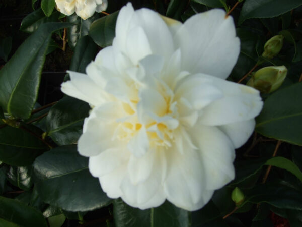 Camellia Silver Anniversary. 1 Litre  White flowers Glossy Leaves Evergreen