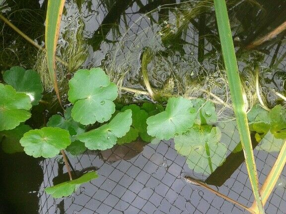 Oxygenating pond plants x 30 ebay for Oxygenating plants for a small pond
