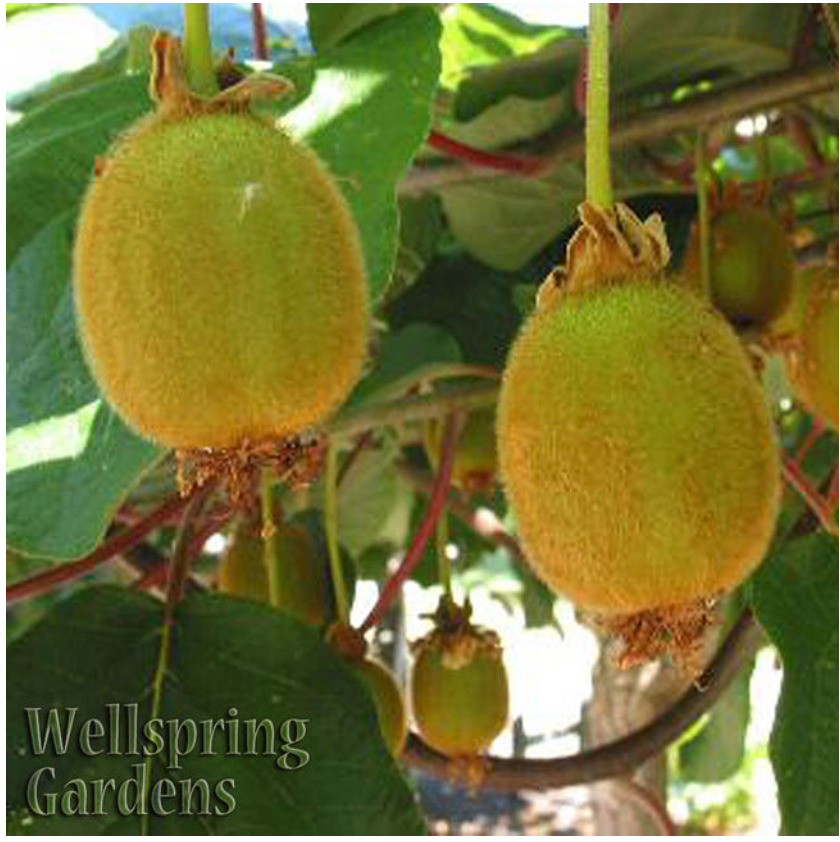 Pictures Of Kiwi Fruit Plants