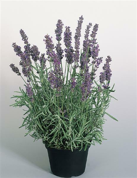 1 x lavendel hitcote blue lavandula angustifolia im 13cm topf winterharte staude ebay. Black Bedroom Furniture Sets. Home Design Ideas