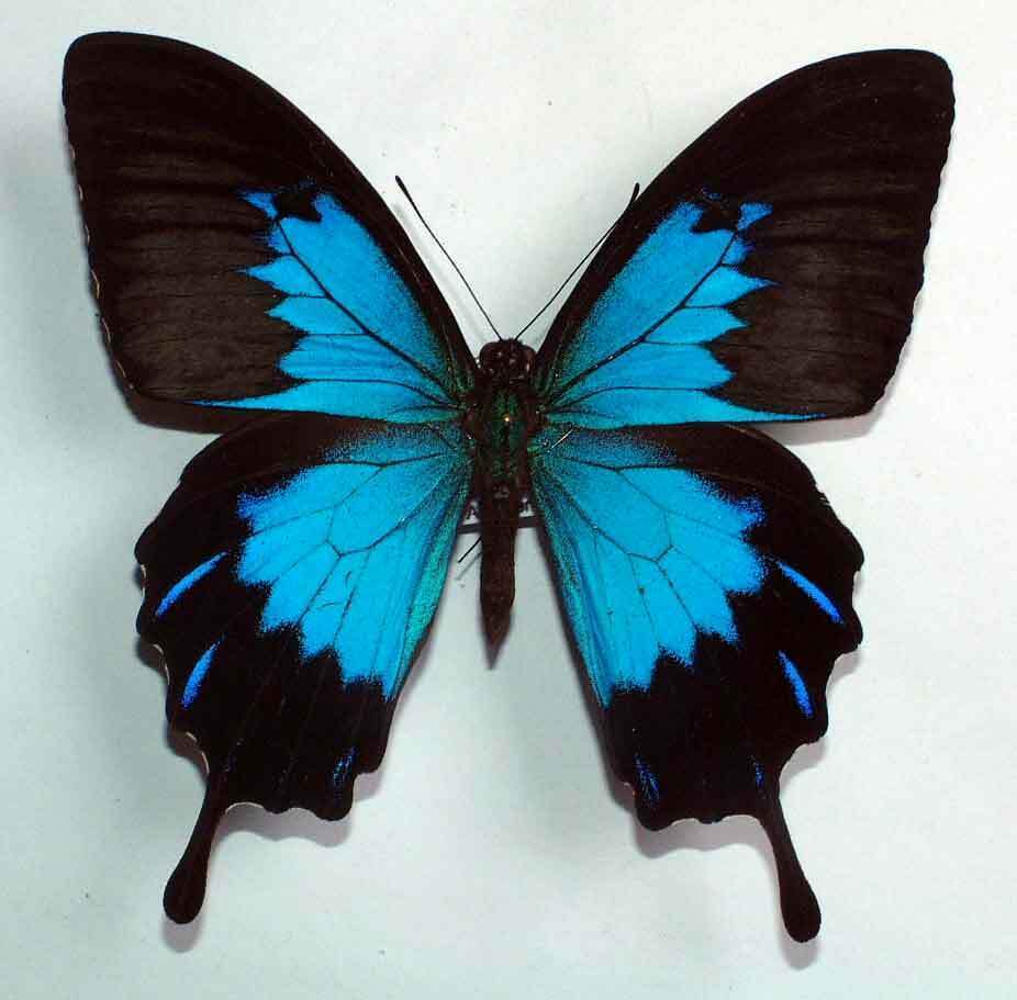 Ulysses Butterfly PAPILIO ULYSSES TELEGO...