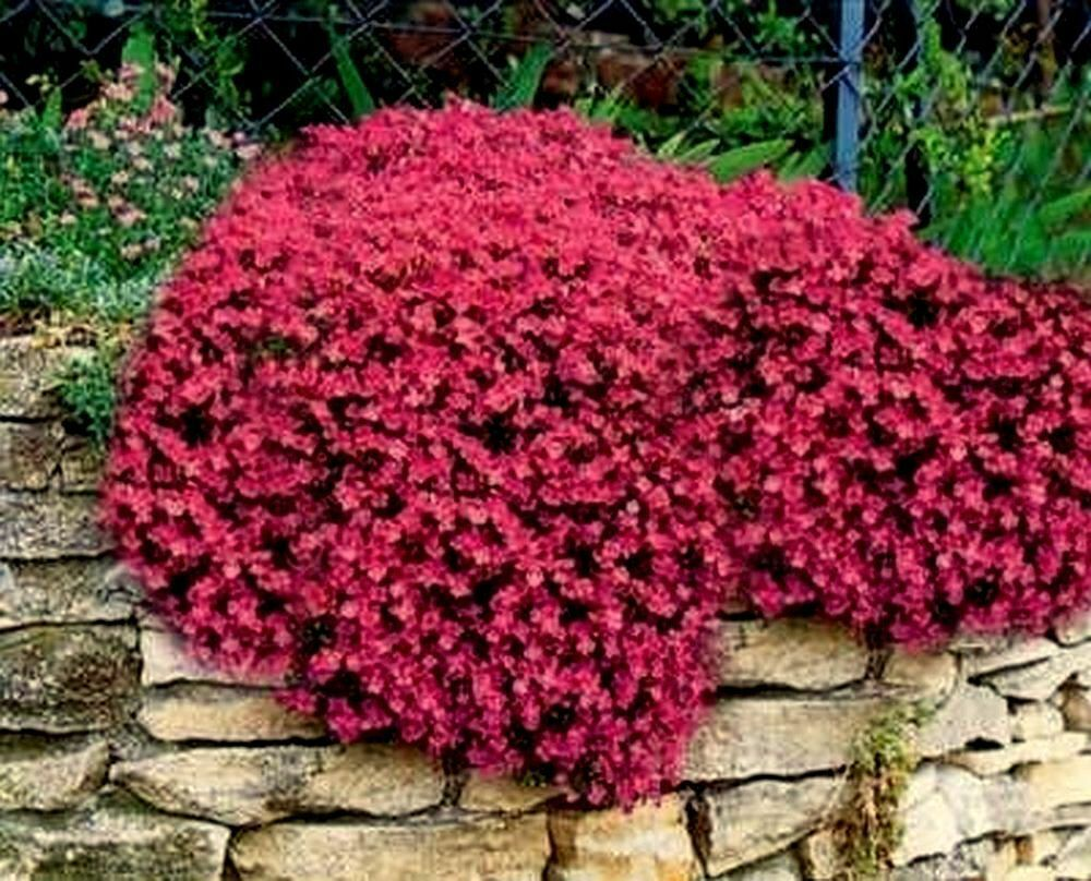 Rock Cress Seeds Cascading Red Heirloom Groundcover Seeds