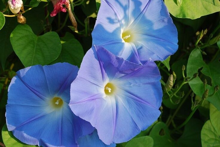 De S About 150 Heavenly Blue Morning Glory Seeds Free Shipping Ipomoea Tricolor 5 66 Grams