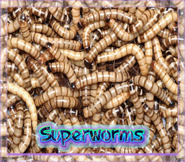 50 Live Superworms  *Organically Raised * Live Delivery Guaranteed* Large 2 inch