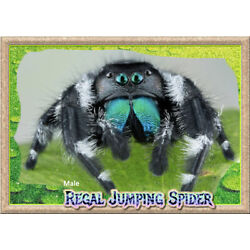 Kyпить Male Regal Jumping Spider (Phiddipus regius) + Complete Habitat & Feeder Insects на еВаy.соm