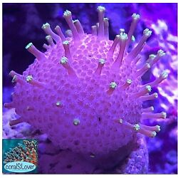 live coral Neon Green Stalks Pink Body Toadstool Leather ''coralSLover''