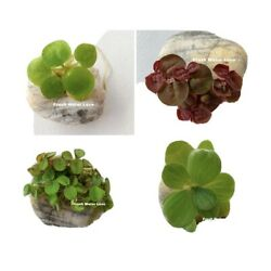 Kyпить Floating Plant Combo! (Frogbit, Red Root Floater, Water Lettuce, Water Spangles) на еВаy.соm