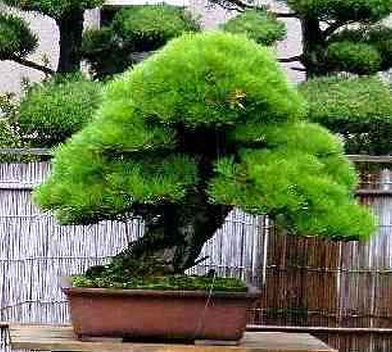 10 JAPANESE BLACK PINE BONSAI TREE SEEDS, | eBay
