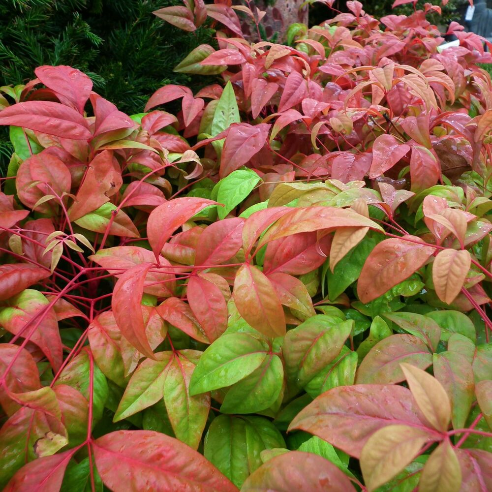 firepower dwarf nandina ornamental shrub live plant 39 heavenly bamboo 39 top seller ebay