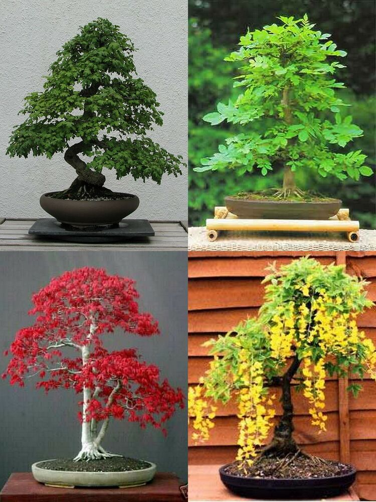 Bonsai seed growing kit includes 4 different types of for Different kinds of bonsai trees