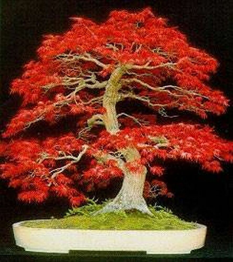 Sugar maple bonsai seed kit ebay for Bonsai costo