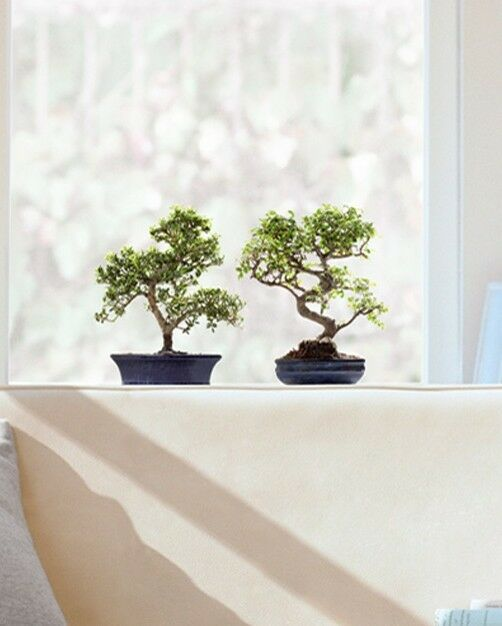 fenstersticker bonsai b ume japan pflanzen aufkleber ebay. Black Bedroom Furniture Sets. Home Design Ideas