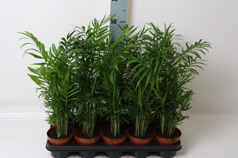 bergpalme 35cm chamaedorea elegans arecaceae palmengew chse ebay. Black Bedroom Furniture Sets. Home Design Ideas