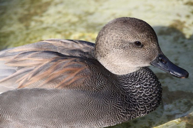 Gadwall Decoy Reference Photo Cd | eBay