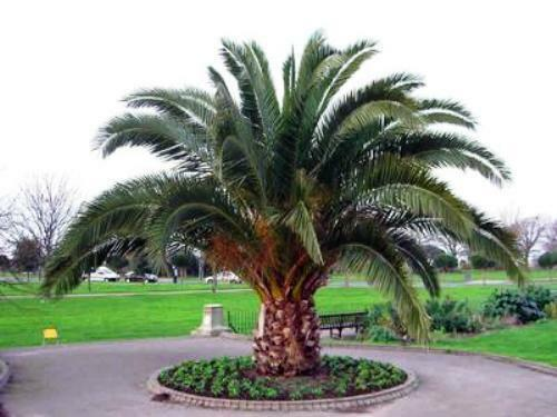 10 seeds canary island date palm phoenix canariensis. Black Bedroom Furniture Sets. Home Design Ideas