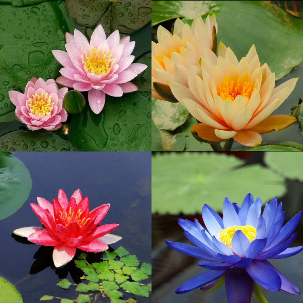 Variety mix rare lotus flower seed 10 seeds 4 kinds water for Lotus plant for sale