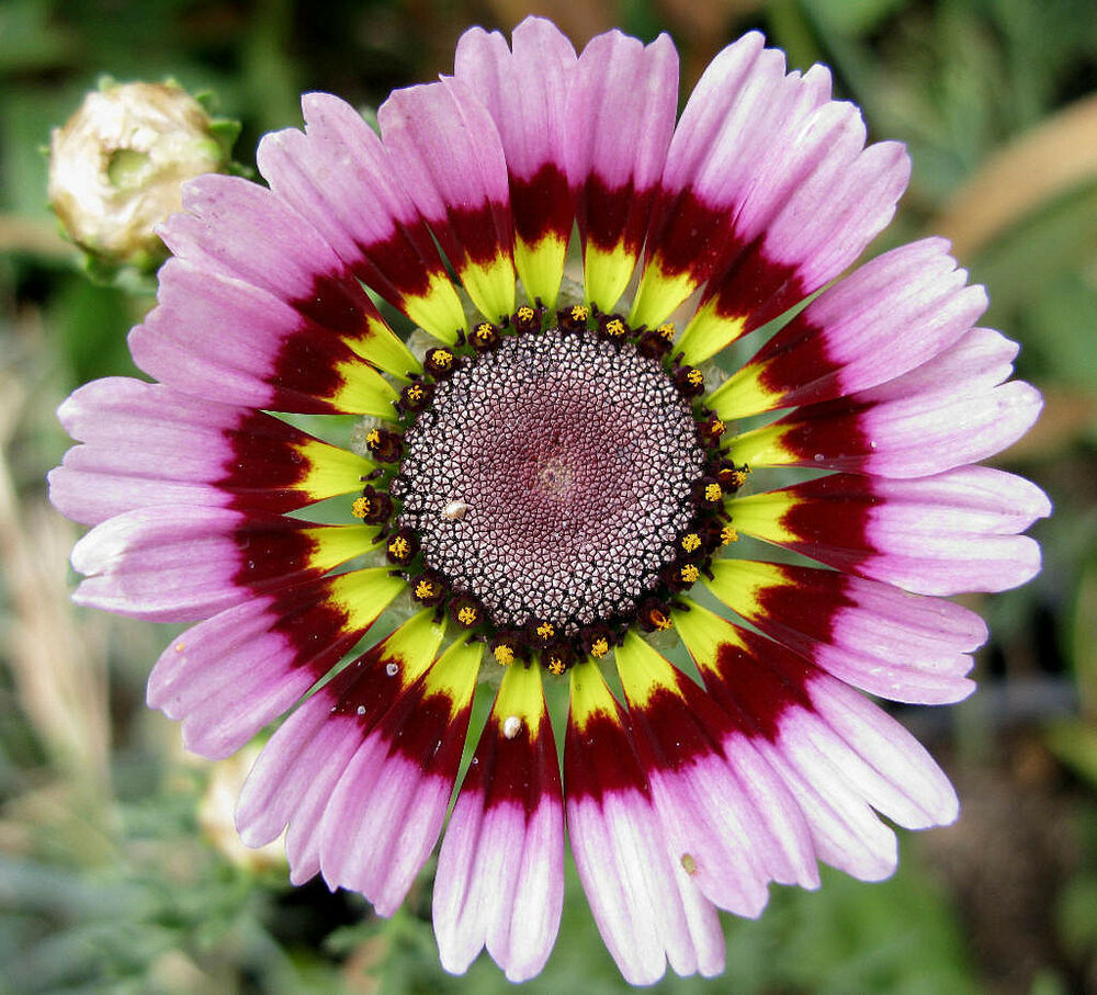 Color Daisies: Daisy, PAINTED, TRICOLOR Tri Color Flower, 60 Seeds! GroCo
