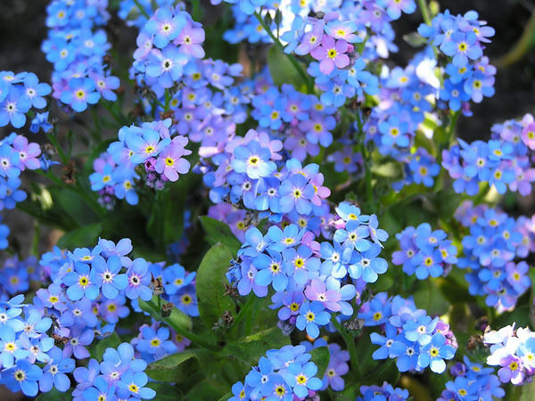 forget me not chinese blue flower 305 seeds groco ebay. Black Bedroom Furniture Sets. Home Design Ideas