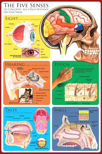 an overview of the five senses in humans The five senses - university of  organ system overview 5  coordination and response nervous control in humans ppt presentation summary : sense .