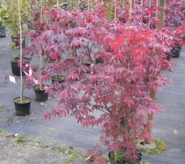 acer palmatum atropurpureum roter f cherahorn ebay. Black Bedroom Furniture Sets. Home Design Ideas