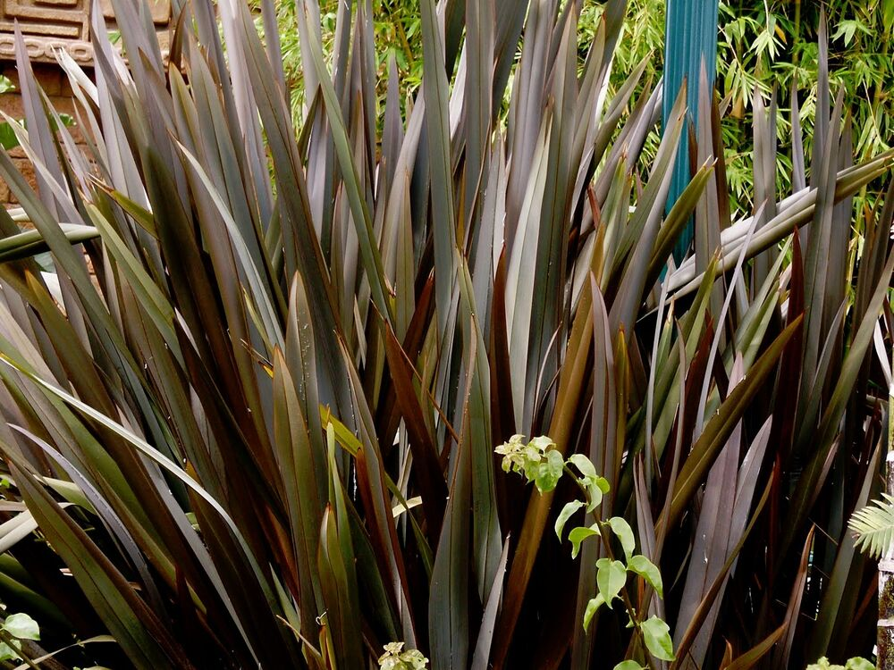 1000 seeds wholesale new zealand flax phormium tenax ebay for Large garden grasses