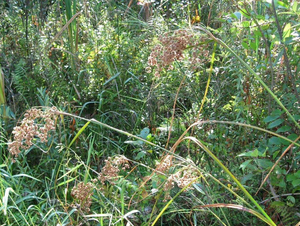 Wool grass 6 39 tall pond water plant 450 seeds groco ebay for Long grass plants