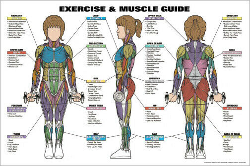 WOMENS EXERCISE AND MUSCLE GUIDE Fitness Workout    Anatomy    Wall Chart Poster   eBay